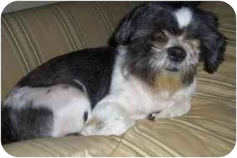 Shih Tzu Dog for adoption in Mays Landing, New Jersey - August