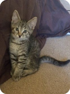 Domestic Shorthair Kitten for adoption in Irwin, Pennsylvania - Vince