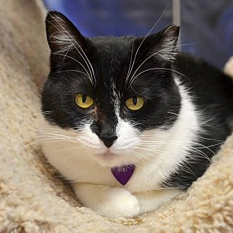 Domestic Shorthair Cat for adoption in Byron Center, Michigan - Yuki