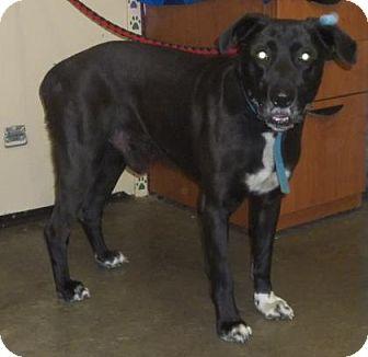 Labrador Retriever Mix Dog for adoption in Rapid City, South Dakota - Clyde