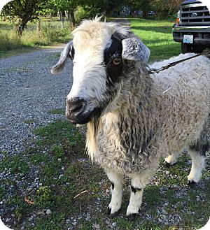 Goat for adoption in Maple Valley, Washington - Cadence