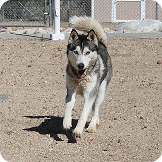 Siberian Husky Dog for adoption in Yucca Valley, California - Serenity Hera Rheneer