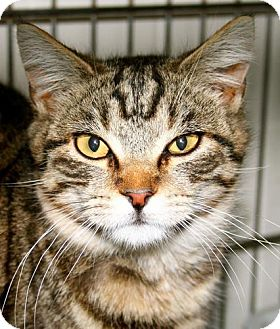 Domestic Shorthair Cat for adoption in Erwin, Tennessee - Max