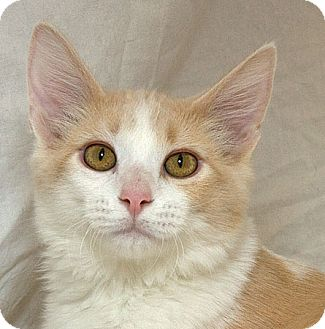 Domestic Mediumhair Kitten for adoption in Sacramento, California - Bingo M