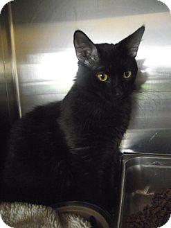 Domestic Mediumhair Cat for adoption in Chambersburg, Pennsylvania - Eightball