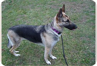 German Shepherd Dog Dog for adoption in New Ringgold, Pennsylvania - Karma