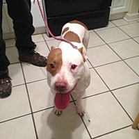 Pit Bull Terrier Dog for adoption in Richmond, Virginia - Stray female in West Point, VA