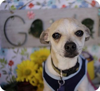 Chihuahua Mix Dog for adoption in San Antonio, Texas - Irving