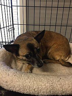 Chihuahua Dog for adoption in Warner Robins, Georgia - Kenzie