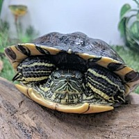 Turtle - Other for adoption in Pefferlaw, Ontario - Socks