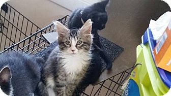 Domestic Mediumhair Cat for adoption in Baltimore, Maryland - Buttercup