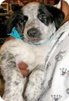 Border Collie/Smooth Fox Terrier Mix Puppy for adoption in Alturas, California - Frankie