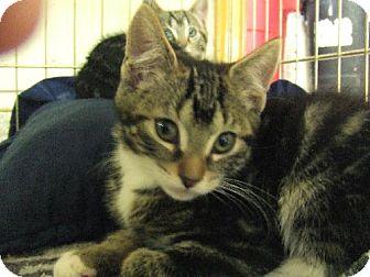 Domestic Shorthair Kitten for adoption in Alturas, California - Kinky
