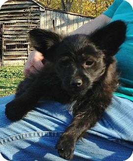 Chihuahua Mix Puppy for adoption in Ashland, Virginia - Espresso-ADOPTED!!!