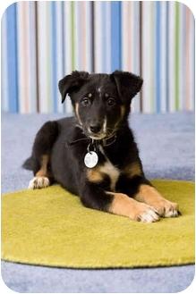 German Shepherd Dog Mix Puppy for adoption in Portland, Oregon - Reva