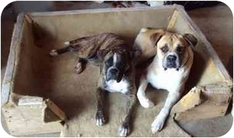 Boxer Puppy for adoption in Meridian, Idaho - Toby