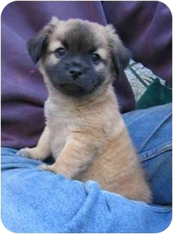Pomeranian/Pug Mix Puppy for adoption in Tracy, California - Gus