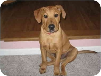 Rhodesian Ridgeback/Labrador Retriever Mix Puppy for adoption in Buffalo, New York - Chase