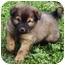 Photo 1 - Australian Shepherd/Australian Cattle Dog Mix Puppy for adoption in El Segundo, California - Travis