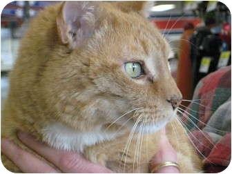 Domestic Shorthair Cat for adoption in Pinehurst, North Carolina - Tigger