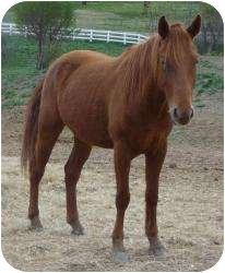 Pony - of America Mix for adoption in Sugar Land, Texas - L4 Bear