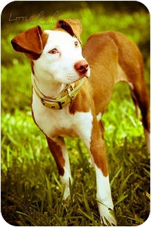 Whippet/American Pit Bull Terrier Mix Puppy for adoption in Tampa, Florida - Susie Q