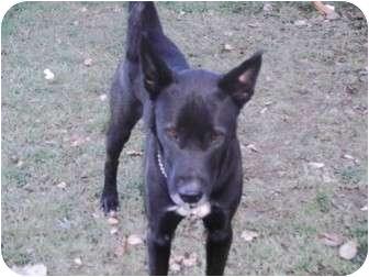Husky/Labrador Retriever Mix Dog for adoption in Coudersport, Pennsylvania - COCOA