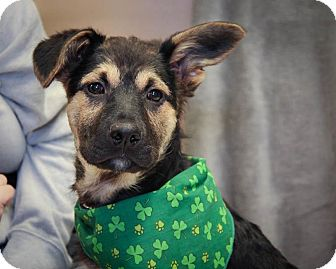 German Shepherd Dog Mix Puppy for adoption in Winnipeg, Manitoba - Cole