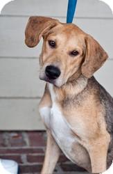 Catahoula Leopard Dog/Labrador Retriever Mix Dog for adoption in Pawleys Island, South Carolina - Gladdy