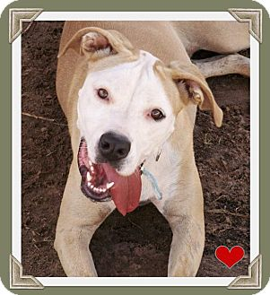 Pit Bull Terrier Dog for adoption in Midland, Texas - Daisy
