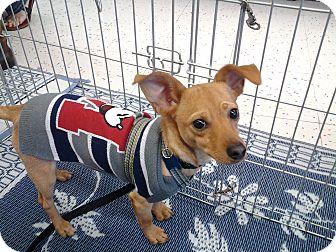 Chihuahua/Dachshund Mix Dog for adoption in Chandler, Arizona - Hopper