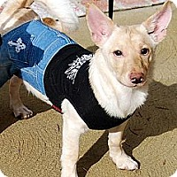 Pomeranian/Terrier (Unknown Type, Medium) Mix Dog for adoption in Studio City, California - Archie