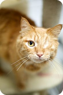 Domestic Mediumhair Cat for adoption in Las Vegas, Nevada - Winx