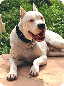 Dogo Argentino Dog for adoption in Phoenix, Arizona - Drago