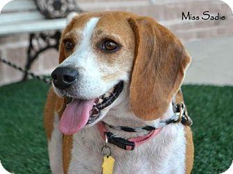 Beagle Dog for adoption in Houston, Texas - Miss Sadie - good girl