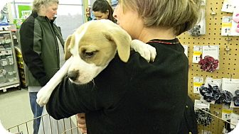 Beagle/Brussels Griffon Mix Puppy for adoption in Hainesville, Illinois - Clayton