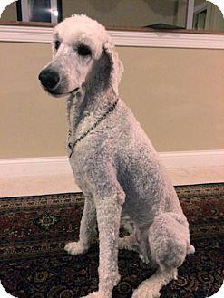 Poodle (Standard) Dog for adoption in Beachwood, Ohio - Oliver