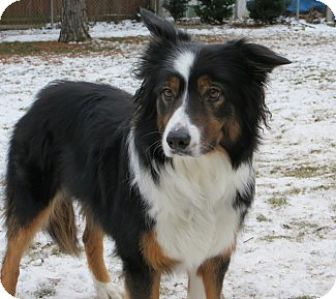Border Collie Dog for adoption in Valparaiso, Indiana - Molly-Adoption Pending