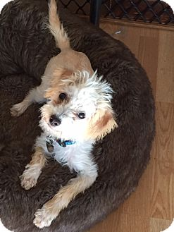 Poodle (Miniature)/Terrier (Unknown Type, Small) Mix Dog for adoption in San Diego, California - FIONA