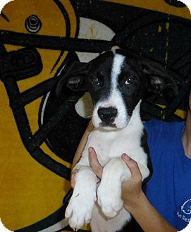 Border Collie/Labrador Retriever Mix Puppy for adoption in Oviedo, Florida - Honey