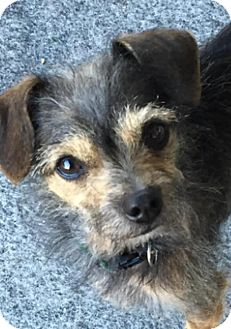 Chihuahua/Yorkie, Yorkshire Terrier Mix Dog for adoption in San Diego, California - Scruffy