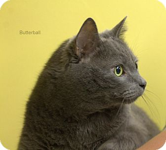Domestic Shorthair Cat for adoption in Hibbing, Minnesota - Butterball