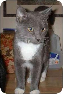 Domestic Shorthair Kitten for adoption in Manahawkin, New Jersey - TJ