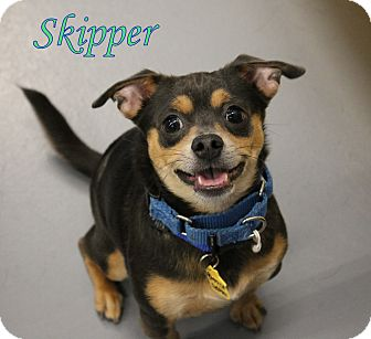 Chihuahua Mix Dog for adoption in Winter Haven, Florida - Skipper