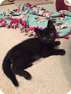 Domestic Shorthair Kitten for adoption in Charlotte, North Carolina - A..  Landon