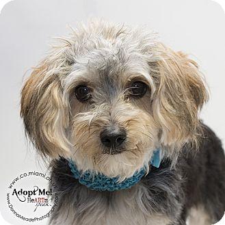 Yorkie, Yorkshire Terrier/Shih Tzu Mix Dog for adoption in Troy, Ohio - Delilah