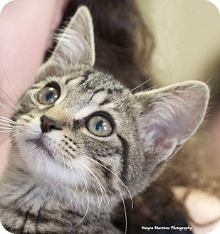 Domestic Shorthair Kitten for adoption in Chattanooga, Tennessee - Simba