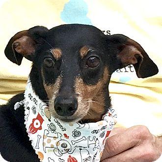 Dachshund Mix Dog for adoption in Evansville, Indiana - Jack