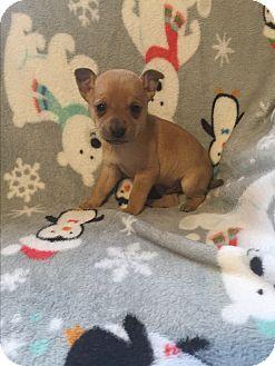 Miniature Pinscher/Chihuahua Mix Puppy for adoption in Hazard, Kentucky - Mikey