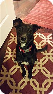 Rat Terrier/Italian Greyhound Mix Dog for adoption in Allison Park, Pennsylvania - Midge